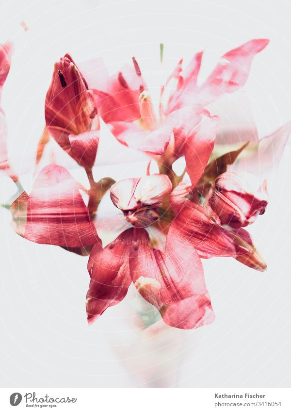 Red Flowers Art double  exposure lilies Colour photo Double exposure Blossom Nature Summer Spring Bouquet red Experimental White Autumn flowers flowers closeup