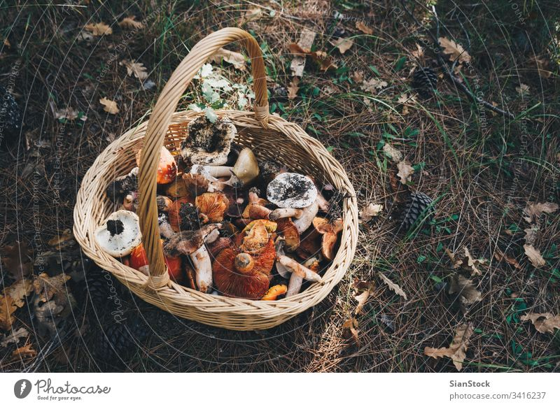 Basket with fresh mushrooms, top view basket forest autumn nature natural food edible gathering background hunting colorful fungus summer picking wild raw