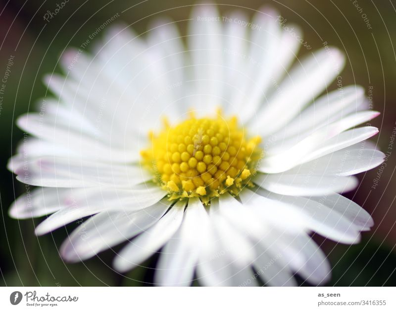 daisies Blossom Flower Close-up Plant Spring Detail Nature Colour photo Blossom leave Shallow depth of field Deserted Blossoming Day Blur Garden Growth