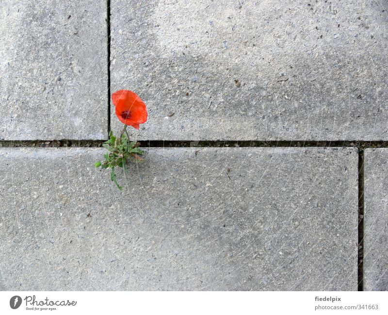 Plant Red Loneliness Flower Environment Blossom Power Growth Concrete Blossoming Strong Poppy Fight Willpower Furrow Environmental pollution