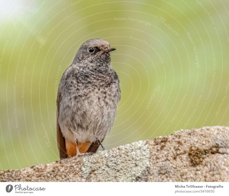 Domestic redstart on the wall Black redstart Phoenicurus ochruros Bird Wild bird songbird Head Beak Eyes Grand piano feathers plumage Legs Claw Wall (barrier)
