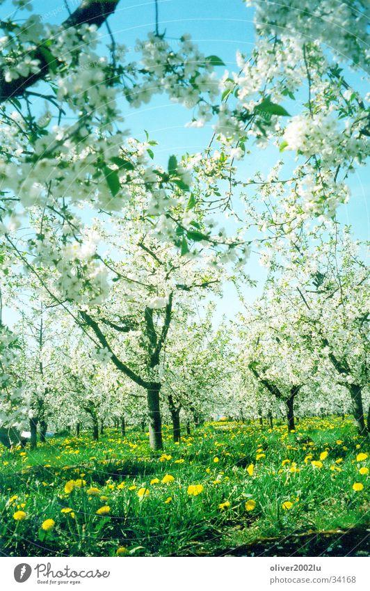Sakura in Werder... Tree Cherry blossom Meadow Werder Havel sakura Sky