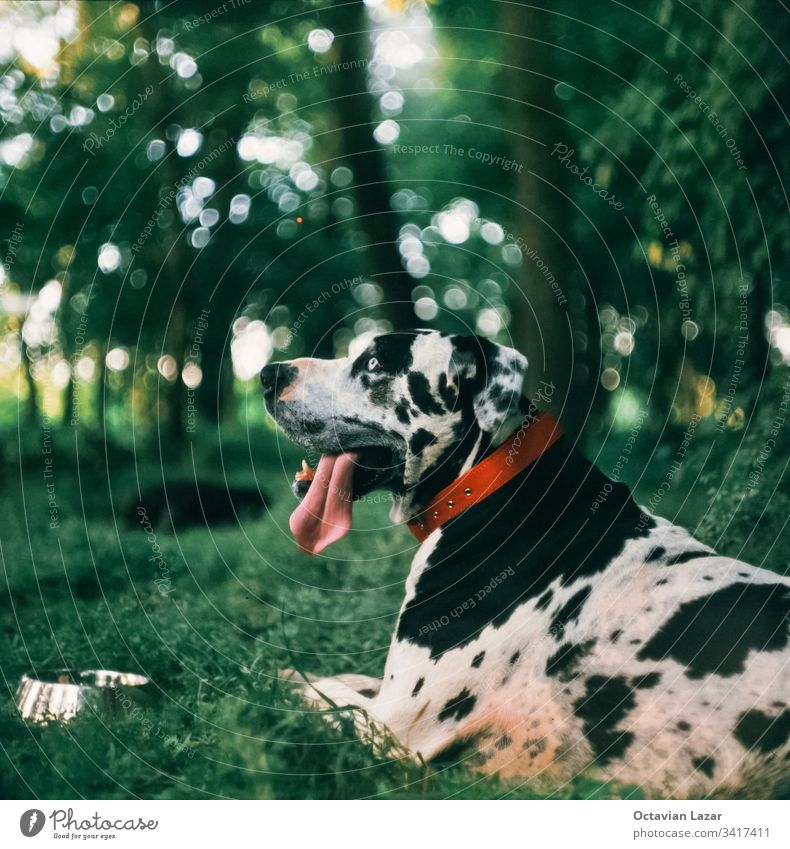 Harlequin great Dane dog sitting on grass animal breed pet canine domestic pedigree great dane spots white harlequin doggy attentive purebred obedient no people
