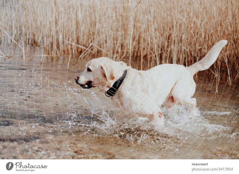 water rat Dog Labrador retriever breed of dog water dog retriever dog Body of water Blonde Lake Wet Inject Senior citizen Old old dog Exterior shot Pet