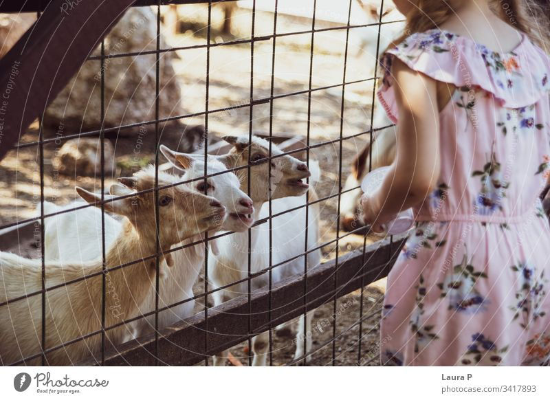 Little girl at the farm, feeding goats activity adorable animal animals beautiful beauty care child childhood close country countryside cute domestic eating