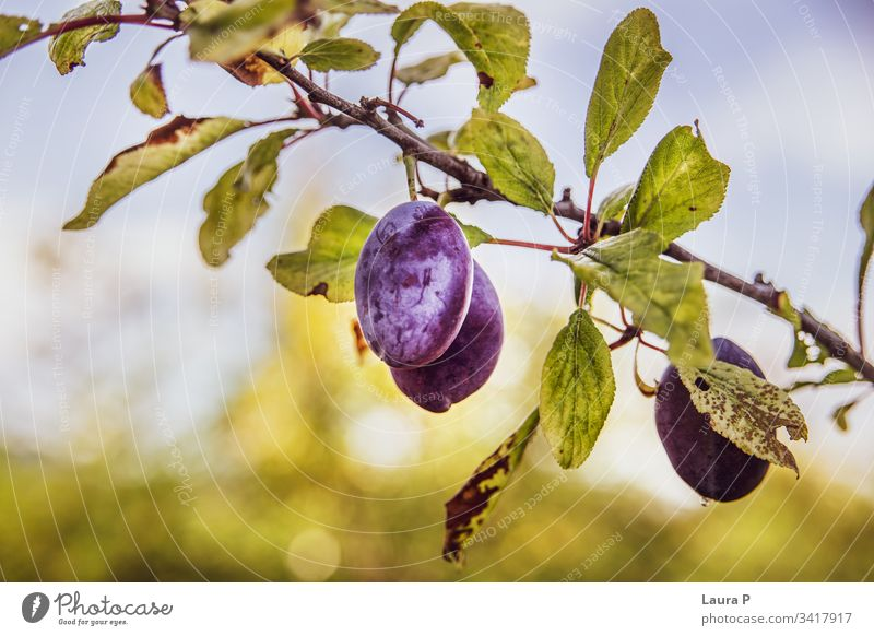 Close up of ripe plums in the summer sweet juicy purple tree plum tree fruit fruits eat food healthy agriculture natural countryside rural leaves autumn snack