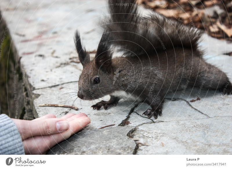 Friendly squirrel close to a hand fun close-up beautiful happy fingers outdoors friendship closeup tame human woman female girl forest small rodent eat fluffy