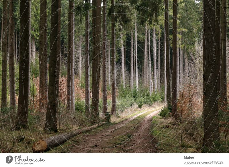 Forest with tall fir trees and forest road landscape nature summer environment park scenic background beautiful dark tourism travel green outdoor season wood
