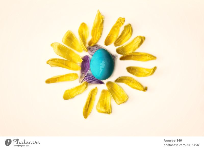 Blue easter egg surrounded with yellow flower petals, shape of a sun isolated on white background, easter or spring concept blue holiday eggs decoration