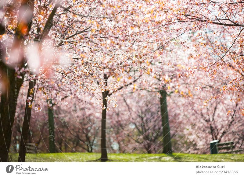 Beautiful city park with cherry trees in bloom. Branches with pink flowers in sunny day. Helsinki, Finland adventure april background beautiful beauty blossom