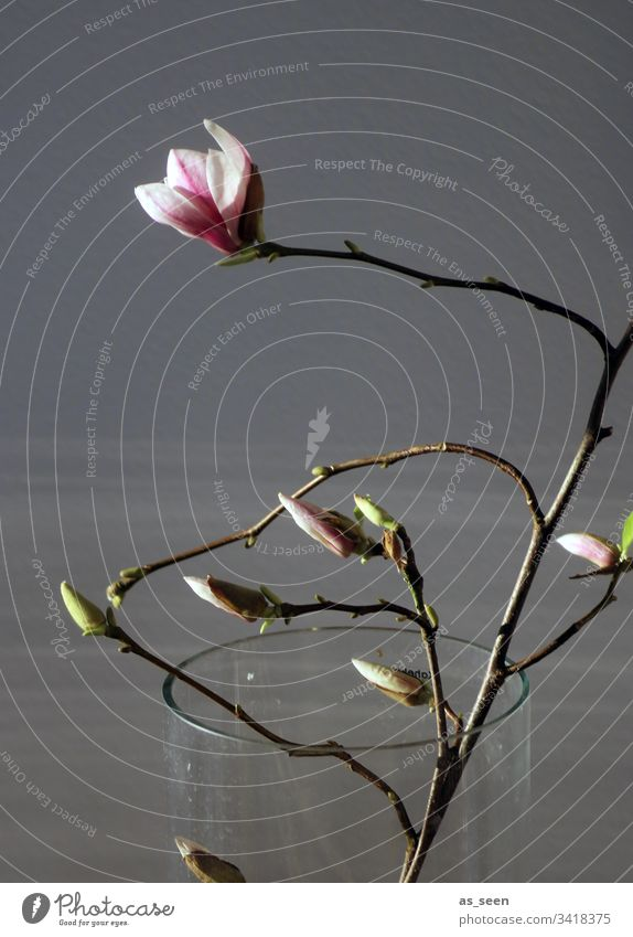 Magnolia branch in the vase magnolia Twig Vase Light Contrast Silhouette Blossom Spring Plant Colour photo Deserted Nature Blossoming Day Beautiful Pink White