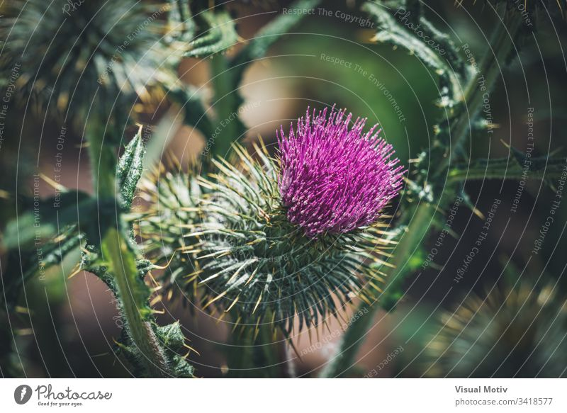 Purple flower of a thistle in an urban garden bloom blossom botanic botanical botany flora floral flowery organic natural nature park plant inflorescence stamen