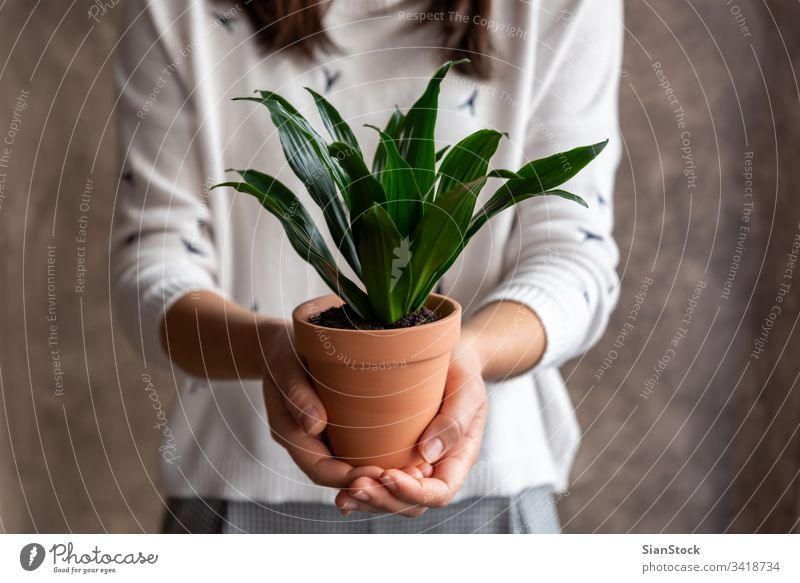 Woman holding dracaena plant pot flower woman hands florist gift floral white indoor show background person female bloom botanical flowers green girl closeup