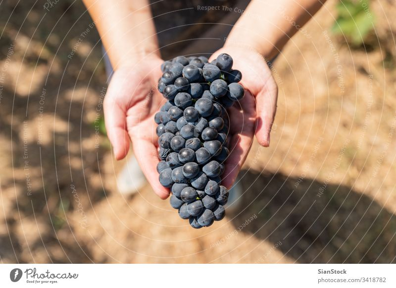 Grapes harvest. Woman's hands with freshly harvested grapes. wine vineyard winery harvesting organic food bunch fruit nature agriculture blue holding winemaker