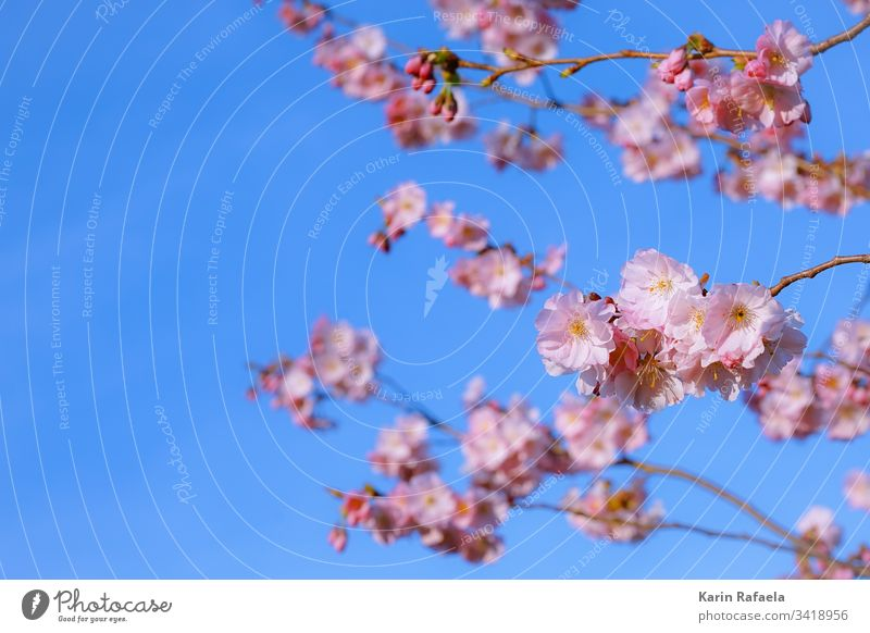 cherry blossom Cherry blossom Spring Blossom Colour photo Cherry tree Tree Pink Nature Blossoming Plant Spring fever Deserted Close-up Environment Blue
