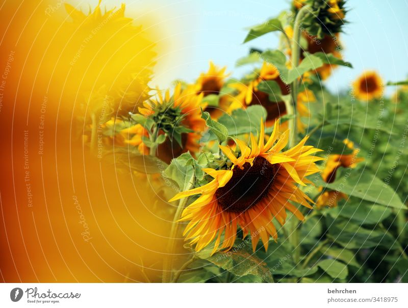 bright sun(s) day Environment Sunlight Blur Contrast Light Day Deserted Detail Close-up Exterior shot Colour photo Hope Beautiful weather Sunflower field