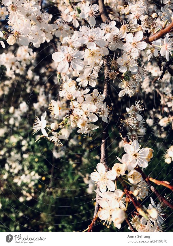 Apple blossoms in beautiful light Blossom Apple tree Blossoming Spring Nature Exterior shot White Green Day Deserted Tree Growth Close-up Sunlight Fragrance