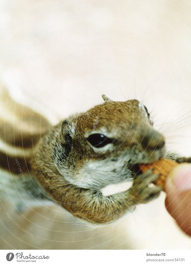 Give me some nuts! Ground squirrel Peace Feeding Rodent Sweet Cute Brash Smooth poseurably A-croissant B-croissants
