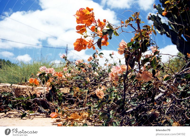 Canarian front garden Flower Orange-red Fuerteventura Bushes Dry Clouds Desert plant Cactus Canaries Blue sky