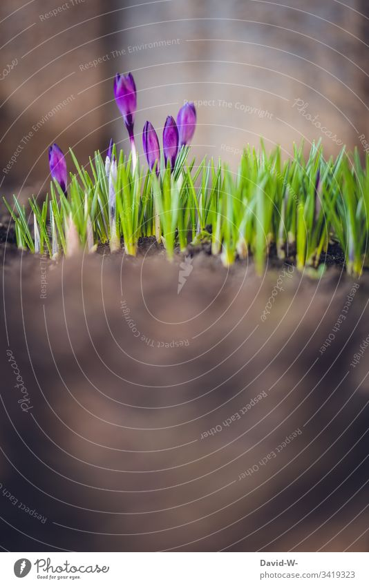 Spring Crocus in the ground coconut Spring crocus Sunlight Copy Space bottom Easter Spring flower Spring colours Flower purple Light Smooth Green beautifully