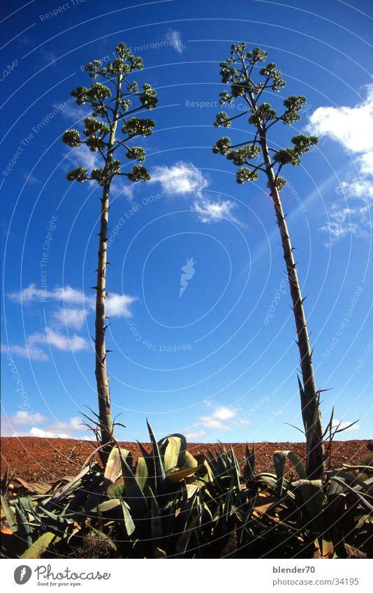 Aloe Vera pair Flower Plant Bizarre Clouds Wide angle Fuerteventura Worm's-eye view Sky Perspective