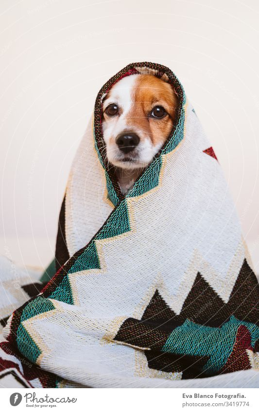 cute jack russell dog covered with ethnic blanket sitting on bed at home. Lifestyle indoors pet daytime comfortable nobody colorful sofa couch small adorable