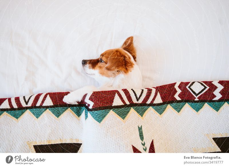cute jack russell dog covered with ethnic blanket lying on bed at home. Lifestyle indoors pet daytime comfortable nobody colorful sofa couch small adorable rest