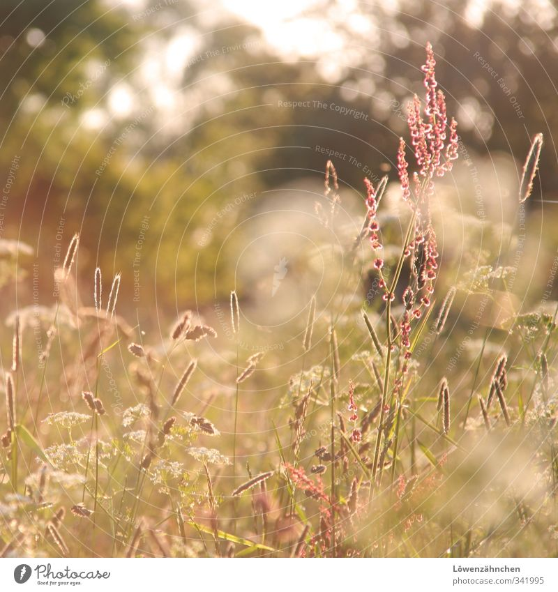 flooded with light Nature Sun Sunlight Spring Flower Grass sorrel Grass blossom Meadow Field Blossoming Illuminate Growth Friendliness Bright Warmth Green Pink
