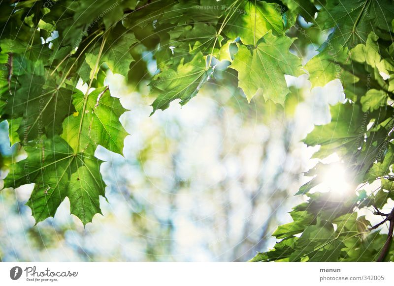 translucent Nature Sunlight Spring Summer Beautiful weather Warmth Tree Leaf Leaf green Twigs and branches Maple branch Maple leaf Illuminate Relaxation Hope
