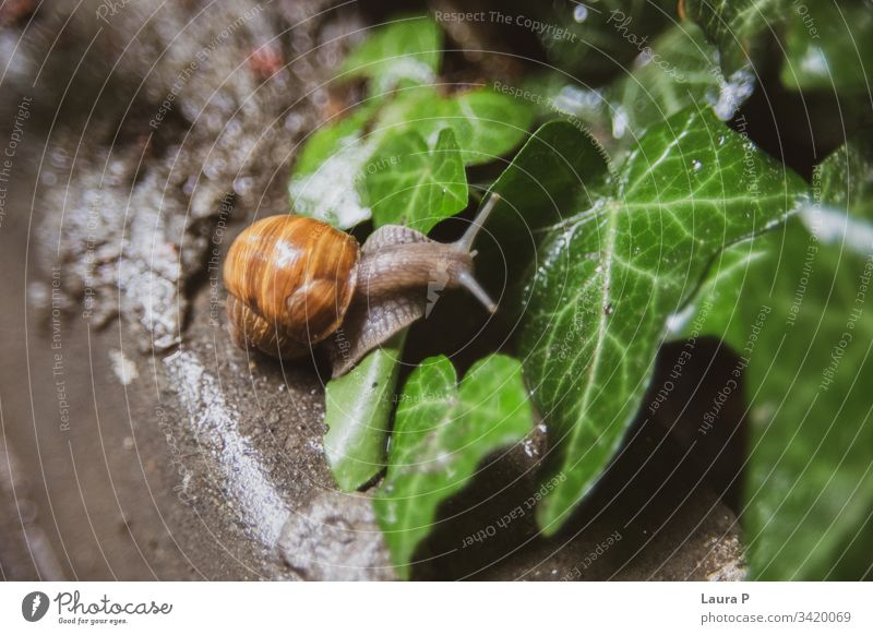 Close up of a snail climbing a wet leaf outdoors exotic slimy shell land snail small wildlife close up one brown raindrop tranquil fresh beauty freshness summer