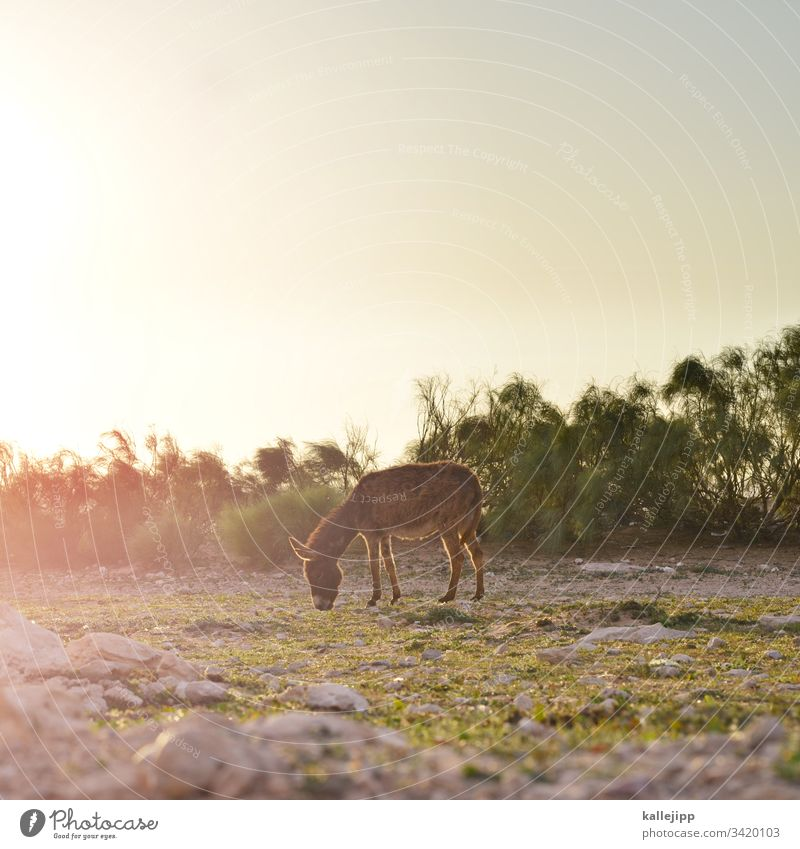 âne Donkey mnemonic Willow tree To feed graze Sunset Back-light Animal Exterior shot Meadow Colour photo Nature Horse Farm animal Grass Sunrise Animal portrait