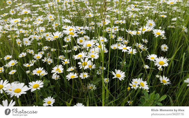 marguerite field marguerites Marguerite Blossoming Flower Plant Meadow Nature Field Green Yellow White large daisies Garden Ornamental plant wild flower