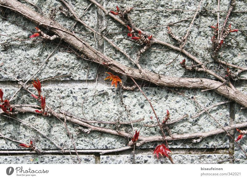 """Bit on granite Plant Sharp-edged Firm Red Calm """"Vine tendril Wall (barrier) Granite Wood Structure,"""" Wall plant Woody Tendril Colour photo Exterior shot Day"""
