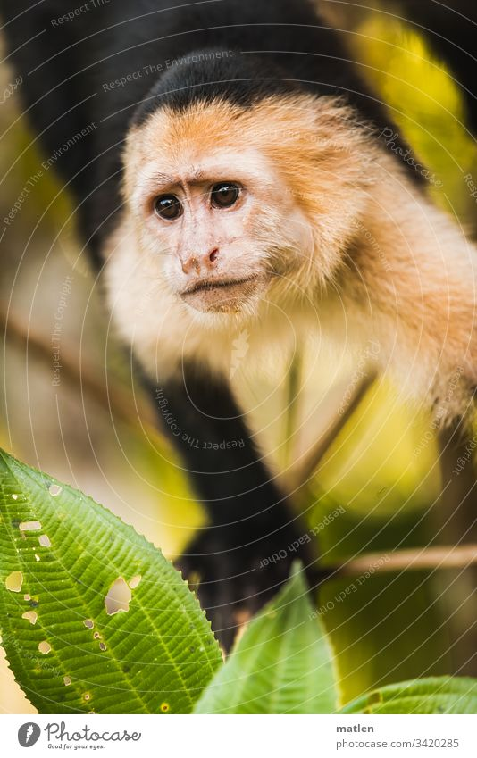 Cappucine Young monkey Looking wildlife Exterior shot Nature Animal portrait animal Colour photo leaves Tree