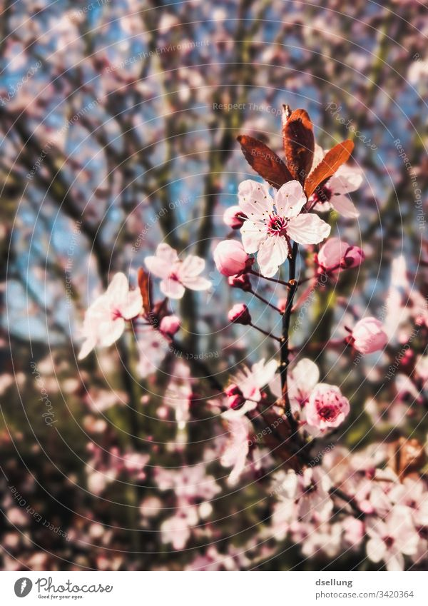 Focus on pink flowers that are part of a tree Beginning Beautiful blossomed Twig Branch Cherry tree cherry branch Close-up Graceful Noble Esthetic Blossom leave