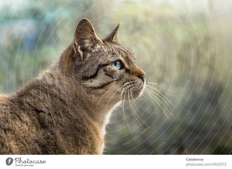 Portrait of a blue eyed cat Nature fauna Cat Pet Domestic cat pet Predators small cat Pelt look Observe Day daylight Blue Brown Green