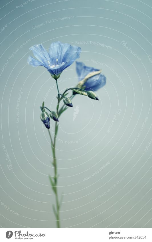 linseed Nature Plant Spring Flower Blossom Agricultural crop Esthetic Thin Simple Elegant Beautiful Blue Subdued colour Exterior shot Close-up Detail
