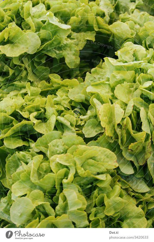 heads of lettuce Lettuce Lettuce heads Fresh Green salad Markets Nutrition vegetarian
