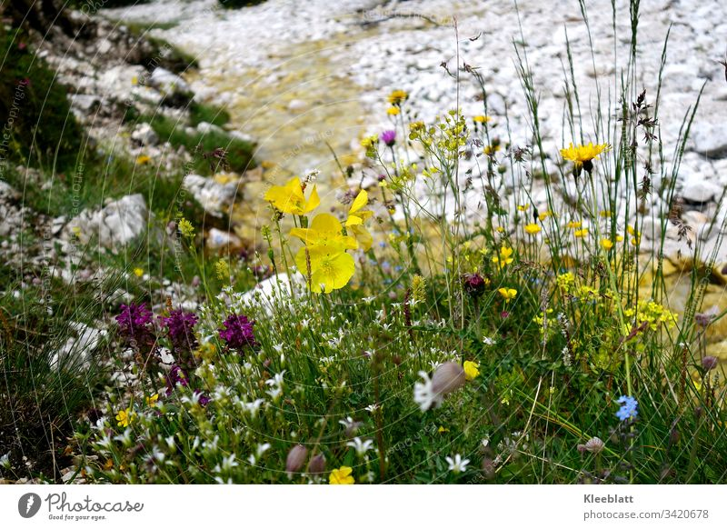 Wild herbs, wild flowers with a stream in the background slightly blurred, Dolomites Mountain flowers Berkräutr High mountain region mountain brook Nature