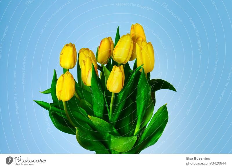 Spring with tulips at home Tulip Garden Summer Fresh Cozy Ostrich Wedding leaves Yellow flowers blossoms plants Nature Bouquet Floral Green colors background