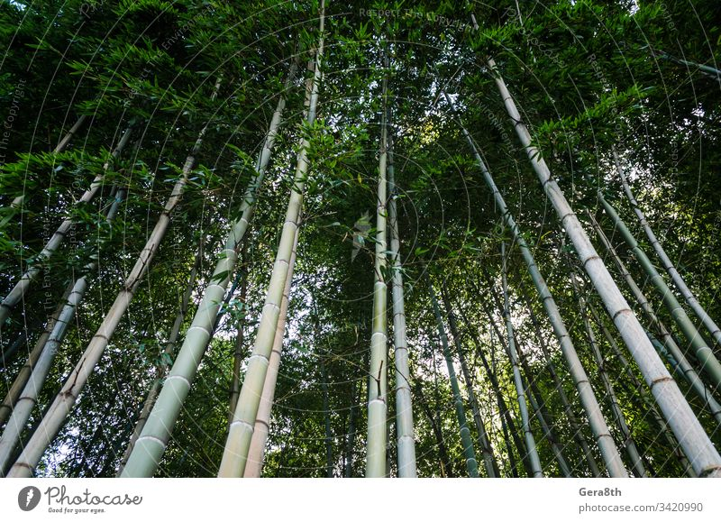 bottom view in high bamboo forest in Georgia asia background blue color day fresh garden green japan jungle landscape natural nature no people nobody park sky