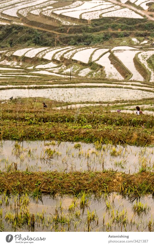 Rice terraces with water, Sapa, Vietnam rice terrace Rice Terraces Asia sapa sa pa Vacation & Travel Exterior shot Nature Landscape Mountain Day Colour photo