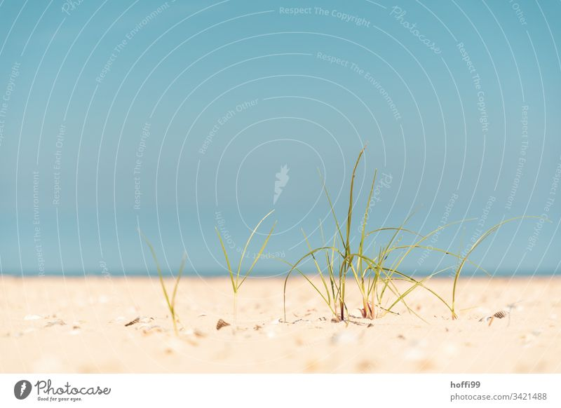 Beach oats small and fine in the sand Sand Coast Relaxation North Sea coast Landscape Summer Island marram grass stage Sandy beach tranquil setting Blue sky
