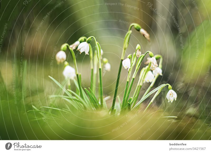 snowflakes begin to fade Close-up Spring Flowering Spring snowflake Garden Green blossoms Plant Nature White