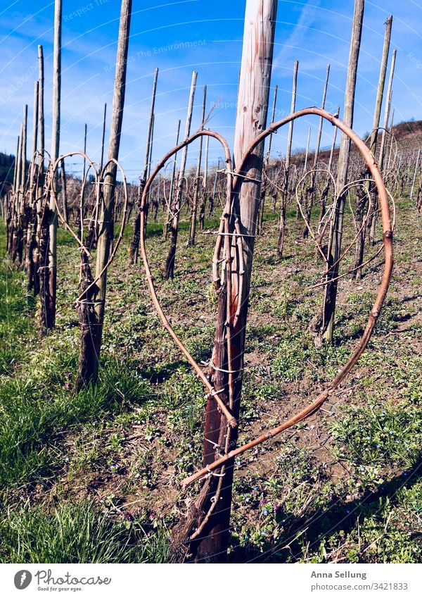 Heart - Inversion in the vineyard in good weather Day Exterior shot Colour photo Growth Nature Landscape Region viticulture Bunch of grapes Grape harvest