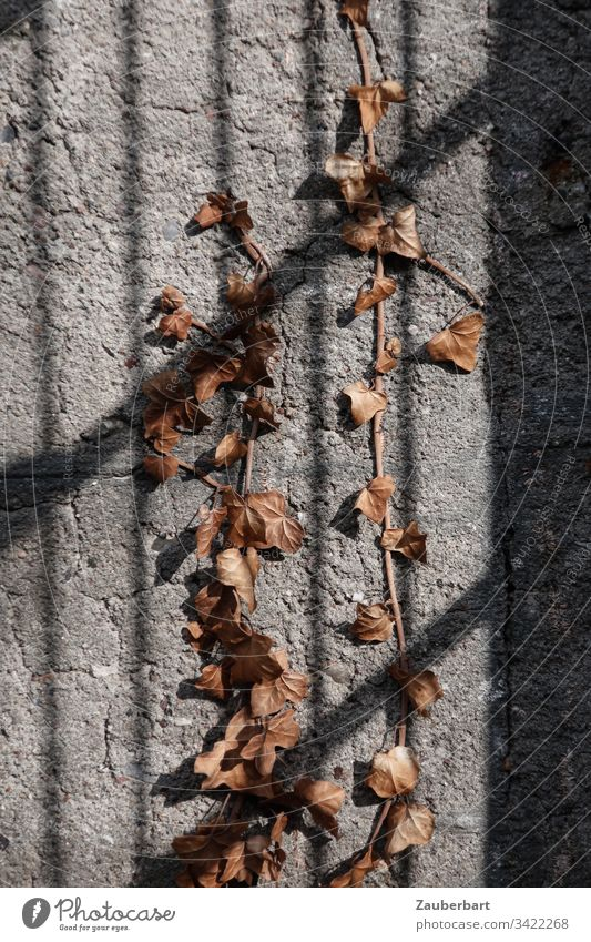 Dried ivy on a grey wall with the shadow of a grating Ivy Shriveled Wall (barrier) Shadow Grating Concrete Brown Gray Wall (building) Deserted Subdued colour