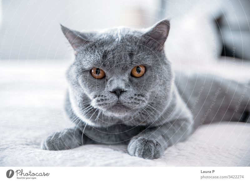 Close up of isolated grey British short hair cat paw pedigree haired beauty kittens english indoors england pussycat shorthaired posing blue silver front