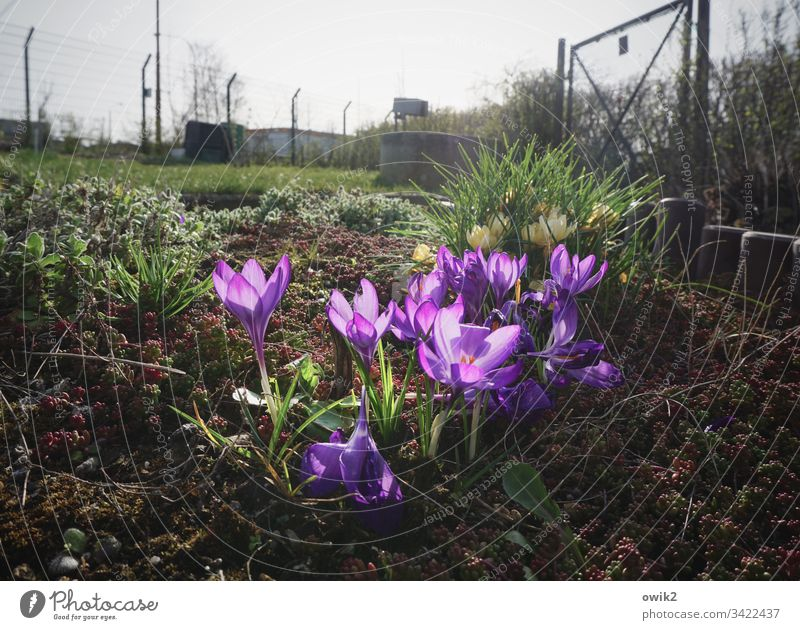 Flowery Crocus flowers blossom colourful Bright Colours Blossom Plant Colour photo Close-up Beautiful Green Exterior shot Spring Nature