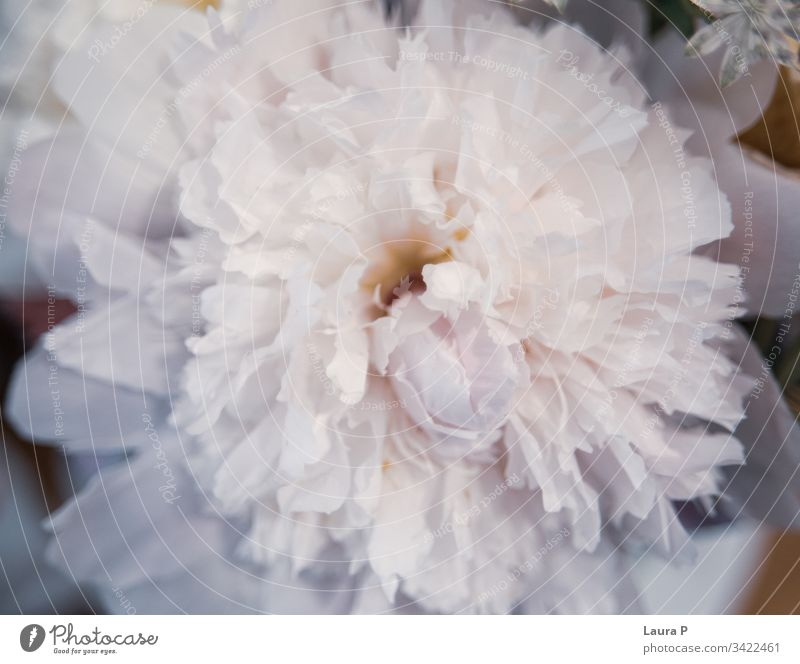 Close up of a beautiful white peony valentine soft Rose romantic flowers petal peonies background pastel nature natural Love light holiday gentle freshness