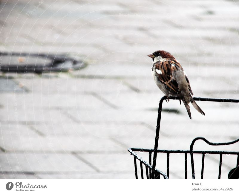 "In the rain he already waited for some time on the bicycle basket, then the little sparrow peeped annoyingly: ""Is that not a taxi again! Bird Sparrow Bicycle"